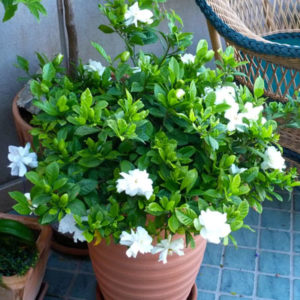 ananta plant ananta plant information ananta flower in english