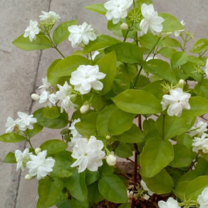 jasmine plant price jasmine plant in pot jasmine plant as per vastu jasmine plant amazon buy a jasmine plant