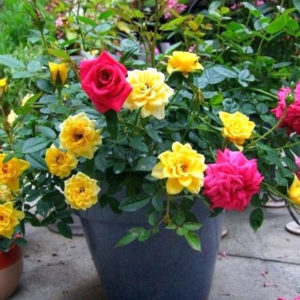 Go Garden rose-any-color-plant4 (1)