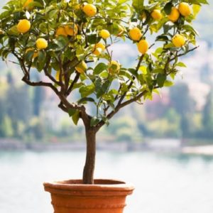 How-to-Grow-a-Lemon-Tree-in-Pot