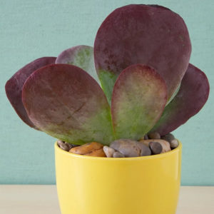 Kalanchoe-luciae-Flapjack-care-and-propagation-information