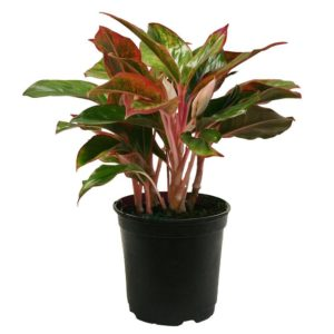 aglaonema-butterfly-manis-plant (2)