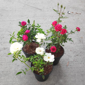 miniature-rose-button-rose-any-color-plant6