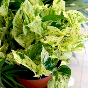 money plant care